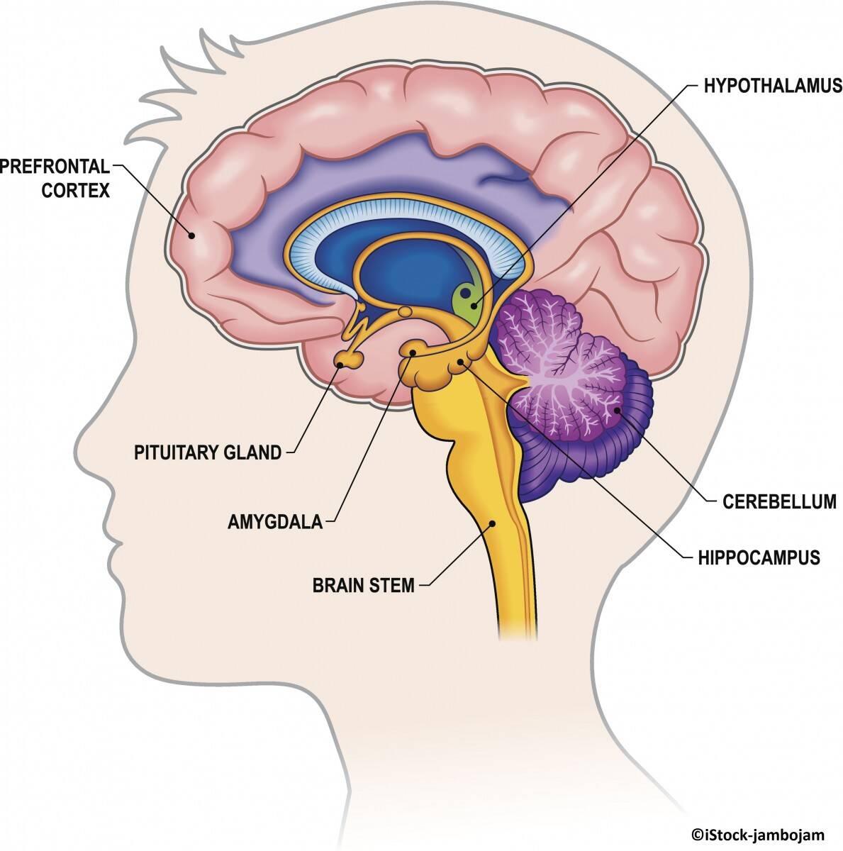 """Amygdala kommt aus dem Griechischen und bedeutet """"Mandelkern"""""""